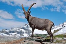 Capra Ibex. Bouquetin Des Alpes. Mâle. Grand Bornand. Haute-Savoie. France