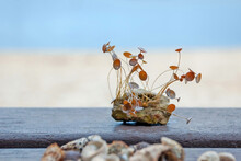 Stone With Growing Acetabularia (mermaid's Wineglass) On Wooden Background Against Sea And Beach On The Seashore In Banjole, Croatia.
