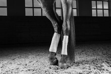Image Of The Bandaged Hooves Of A Thoroughbred Horse. Competition Preparation Concept.