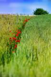 Fototapeta Kwiaty - Kwiaty na łące