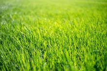 Closeup Green Healthy Grass Lawn, Eye Level