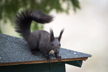 Closeup Of A Beautiful Fox Squirrel On The Corner Of An Outdoor Table
