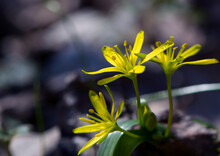 Field Gagea Flower, Or Goose Onion, Or Bird's Bow. Yellow Flower With Green Leaves. Spring Flowers In The Forest. Soft Selective Focus. First Delicate Yellow Flowers, Natural Background, Close-up
