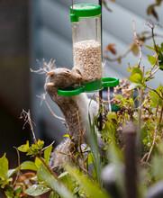 Cute Squirrel Eating Grains