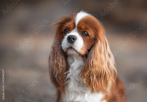 cavalier king charles spaniel dog - portrait of the dog Fototapet