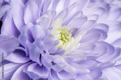 Fototapeta Niebieski aster z pięknymi płatkami obraz