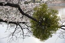 宿り木の生えた桜の枝と満開の桜の風景