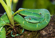 Side-striped Palm Pitviper Snake In The Tropical Jungles Of Costa Rica