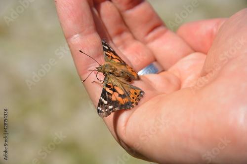 Fototapeta Piękny motyl wiosna lato ręka dłonie z motylem obraz