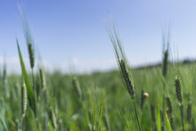 Closeup Shot Of Green Reeds On A Field