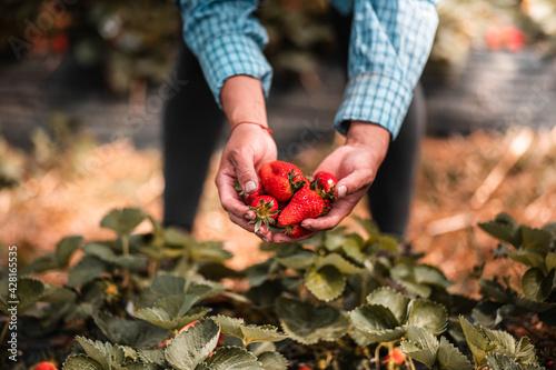 Mains d'une femme qui récolte des fraises dans un champs dans les Landes Wallpaper Mural