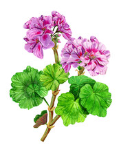 A Branch Of A Garden Geranium Flower With Bouquets Of Buds. Hand Drawn Watercolor Painting. Isolated Illustration On A White Background. Blooming Purple Pelargonium. Plant With Green Leaves.