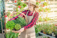 Young Woman Horticulturist Looks At A Basket Of Aromatic Plants Such As Thyme And Oregano Mint
