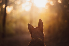 Adorable Dutch And Belgian Shepherd Malinois Mixed Breed Dog Head With Big Ears Shown From Behind In A Forest In Autumn At Sunset