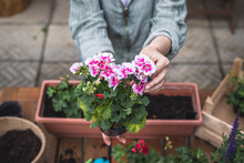 Woman Holding Pink Pelargonium Flower In Hands. Gardening At Springtime. Planting Geranium Seedling On Table