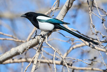 Black-billed Magpie (Pica Pica), Calgary, Inglewood Bird Sanctuary, Alberta, Canada