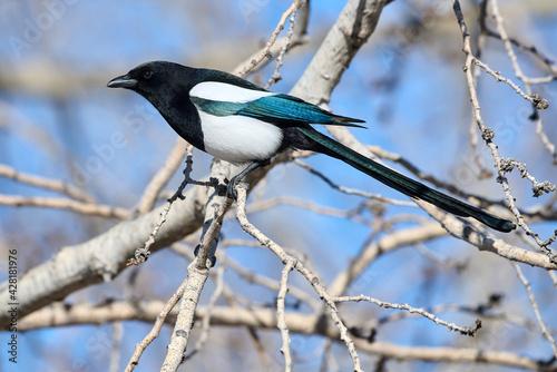 Fototapeta Black-billed magpie (Pica pica), Calgary, Inglewood Bird Sanctuary, Alberta, Can