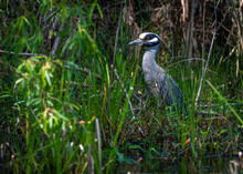 Yellow-crowned Night-Heron In Tall Weeds Along The Waters Edge In Pearland, Texas!