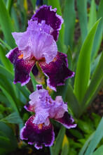 Two Bearded Irises In The Garden After The Spring Rain.
