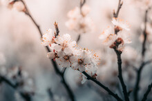 Warm Photography, Close-up Of Blooming Apricots. Macro Photo Of Spring Flower