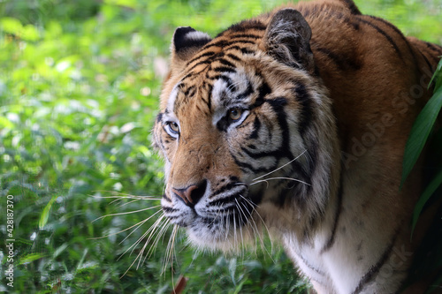 Portrait of a bengal tiger, Closeup head Bengal tiger, Male of Bengal tiger clos Fotobehang