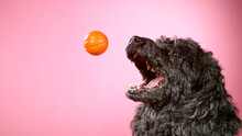 Freeze Motion Shoot Of Black Standard Poodle Catching Small Ball