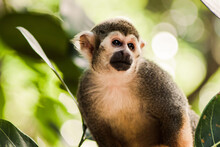 Squirrel Monkey (1/2)