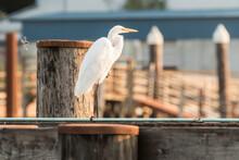 Great White Egret In Winchester Bay, Oregon