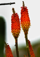 Selective Focus Shot Of Red Hot Pokers