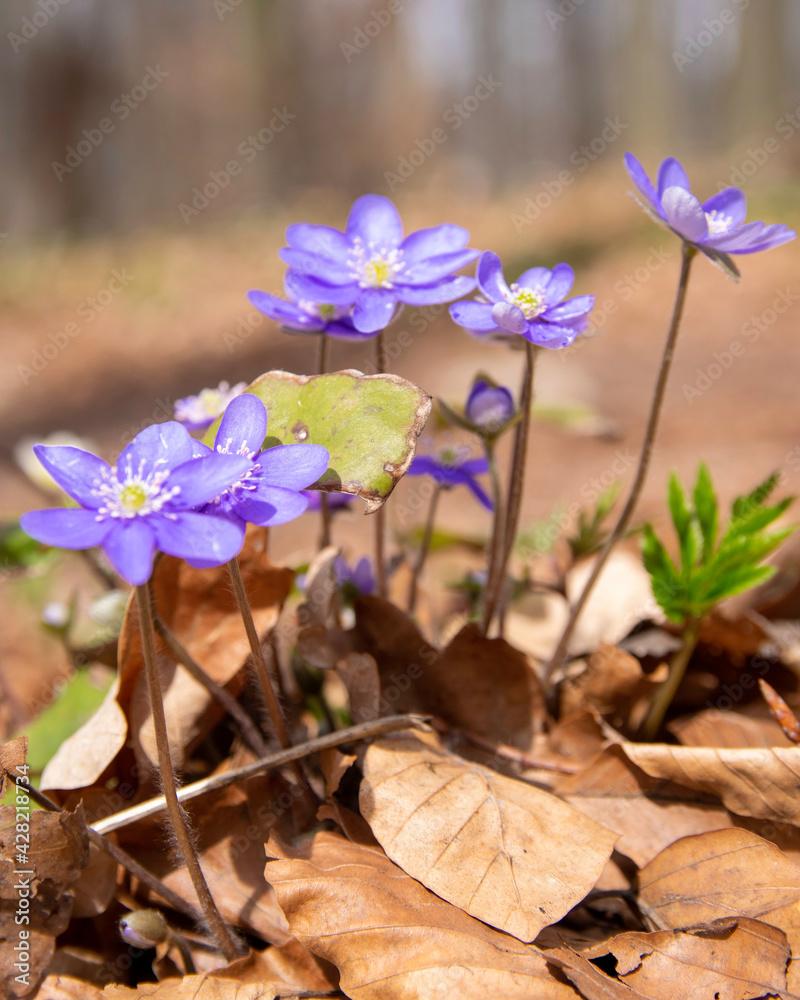 Fototapeta Wiosenne kwiaty. Przylaszczka pospolita.