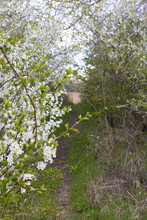 Natural Way In Bushes, Flowering Hawthorn Shrubs And Sustainable Grassland