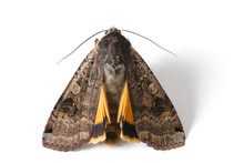 Male Of The Large Yellow Underwing (Noctua Pronuba) Is A Moth From The Family Owlet Moths Noctuidae. Caterpillars Of This Species Are Pests Of Most Crops.