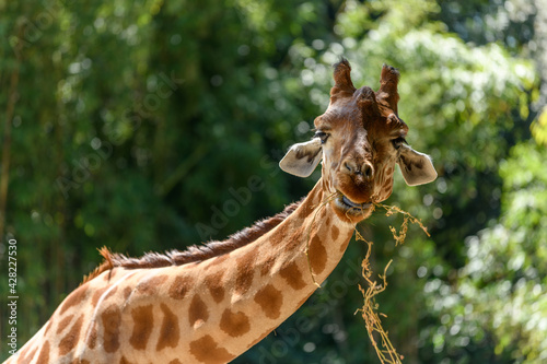 Obraz na plátně Kordofan's giraffe in captivity at the Sables Zoo in Sables d'Olonne