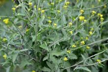 Medicinal Walk (Sisymbrium Officinale L. Scop.). Flowering Plant