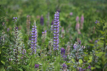 Field Of Natural Wild Blue And Purple Lupin Perennial Flowers