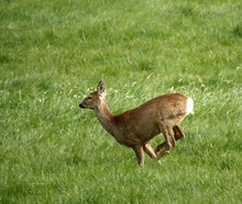 Wild Roe Deer Running, Jumping And Prancing On Salisbury Plain, North Wessex Downs AONB