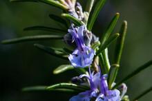 Blue Rosemary Flower