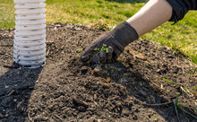 Closeup Man's Hand In Black Glove Pull Out Weed From The Ground For Recovery And Grow Green Grass With Sunset In Spring. Eco Friendly Of Gardening And Maintenance, Outdoor Landscape Activity Concept.