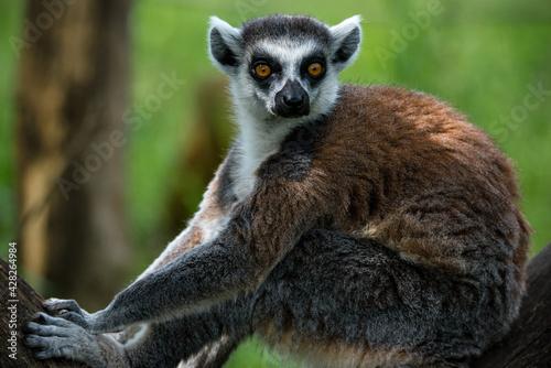 Ring tailed Lemur (Lemur catta) Wallpaper Mural
