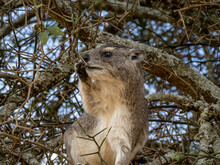 Serengeti National Park, Tanzania, Africa - February 29, 2020: Rock Hyrax Climbing In Tree