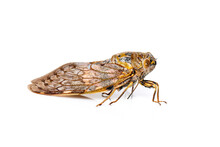 Image Of Large Brown Cicada Insect Isolated On White Background. Insects.