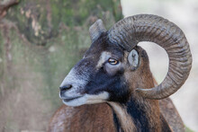 Portrait Of An Ibex