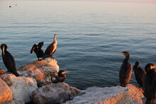 Pelicans On The Sea