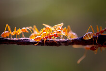 Close Up Red Weaver Ants