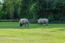 Two Rhinos Grazing In The Green Field In The Background Of Dense Trees
