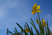 Yellow Daffodil (Osterglocke) In Front Of Blue Sky With Few Clouds. Up View.