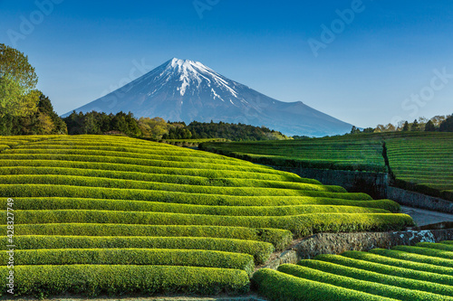 Obraz na plátně 富士市大渕笹場から朝日を浴びて緑色に輝く新茶の目と青空に映える富士山