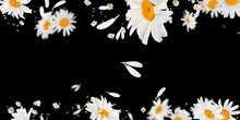 Oxeye Daisy Flower  STOCK IMAGE