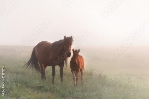 Fotografia foggy morning horses mother and son family horses