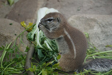 Cute Ground Squirrel Standing And Eating Green And Vegetables